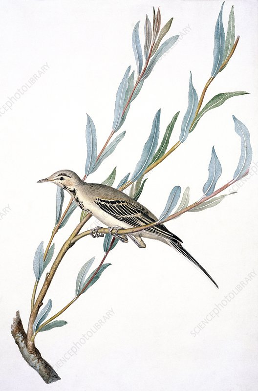 White wagtail, 19th century