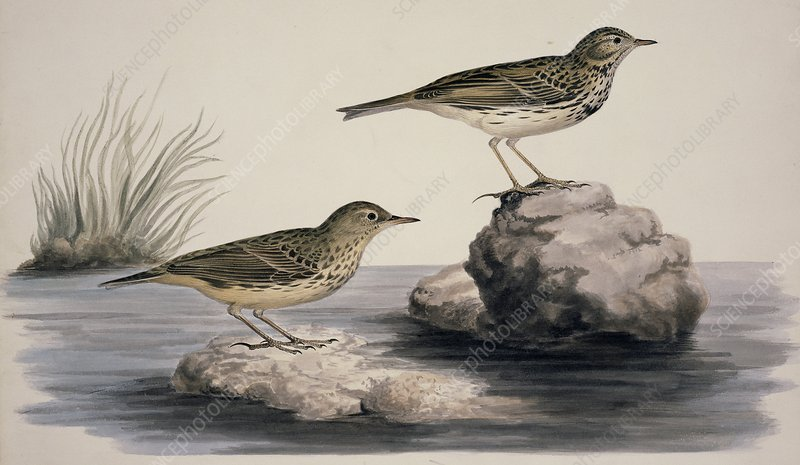 Rock pipit, 19th century