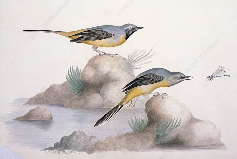 Grey wagtail, 19th century