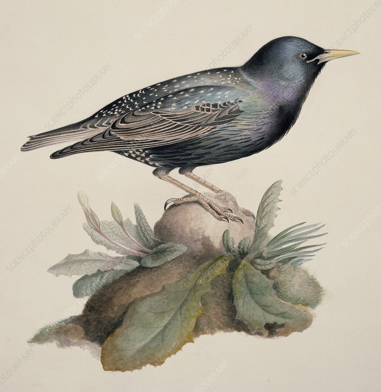 European starling, 19th century