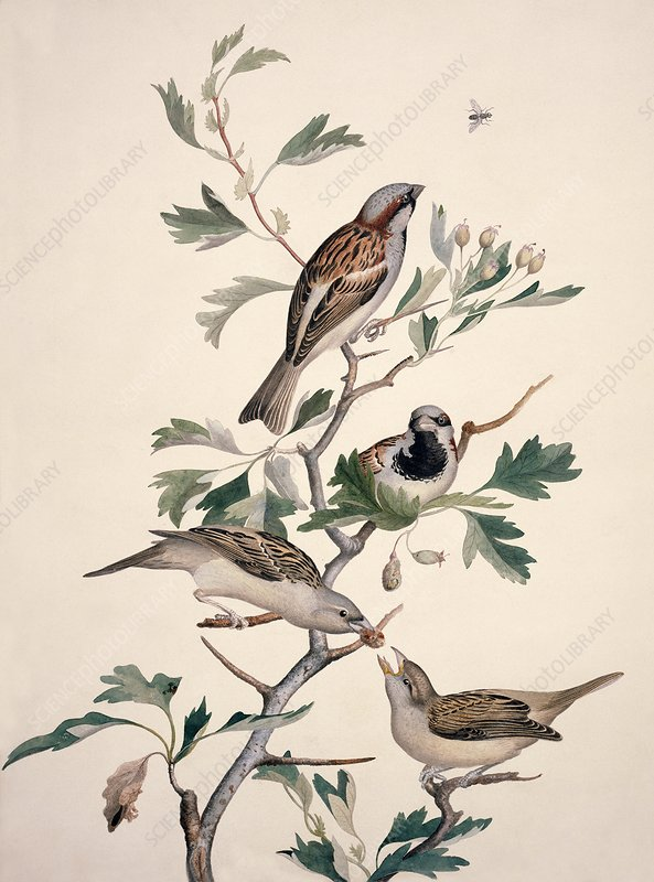 House sparrow, 19th century