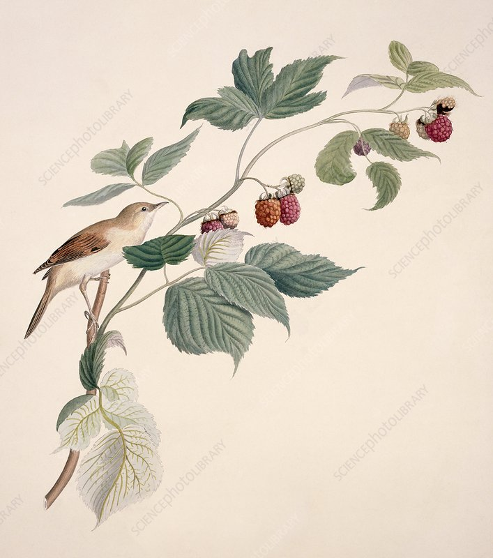 Greater whitethroat, 19th century