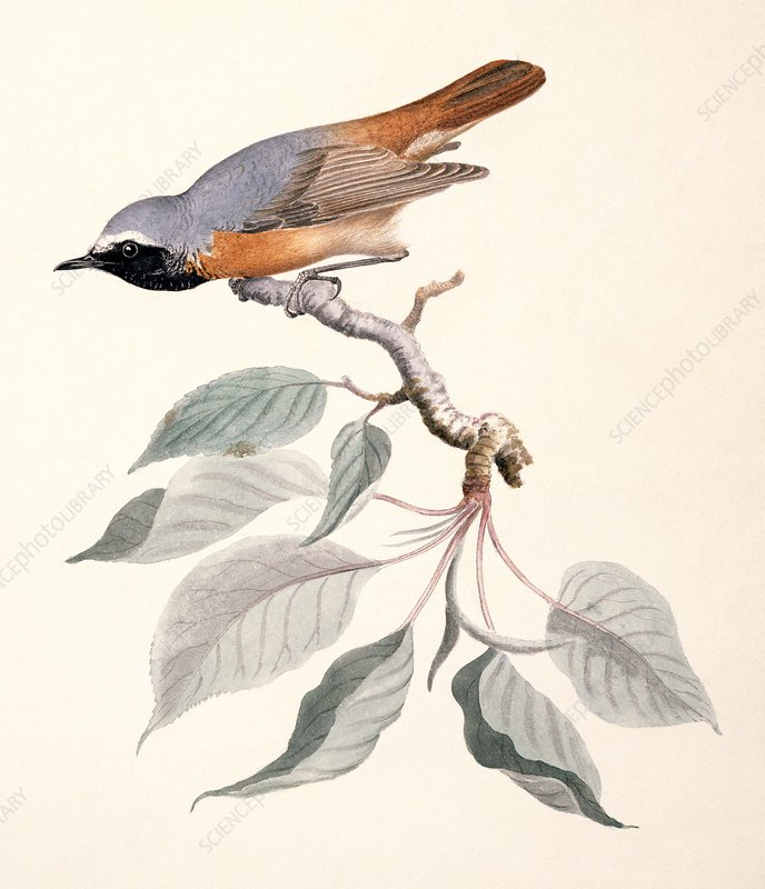 Common redstart, 19th century