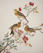 Yellowhammers, 19th century artwork