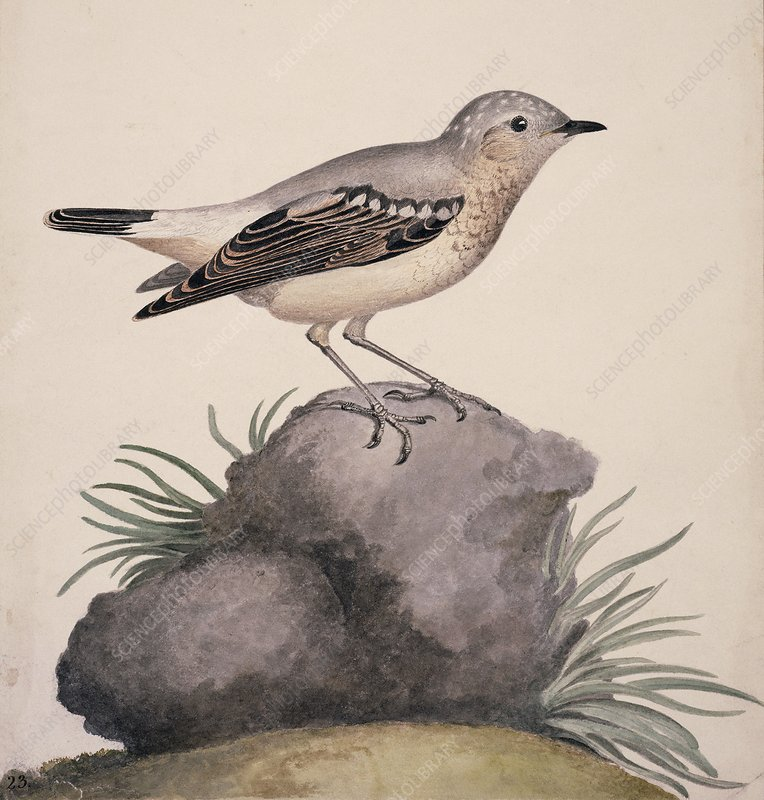 Northern wheatear, 19th century