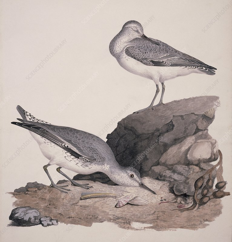 Red knot, 19th century