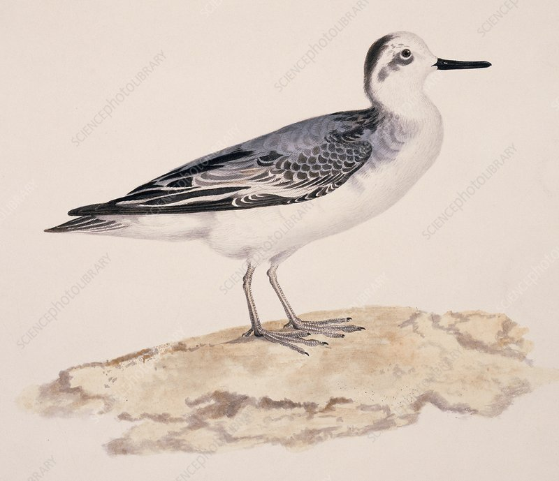 Grey phalarope, 19th century
