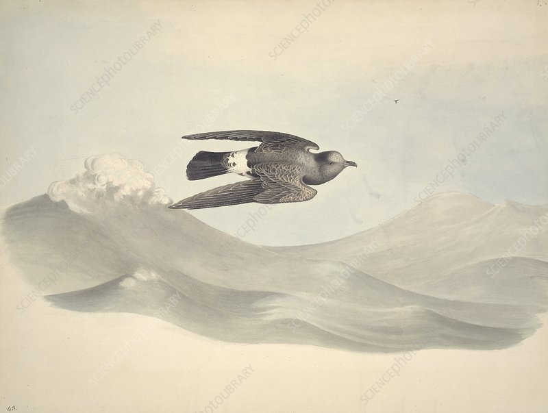 European storm petrel, 19th century