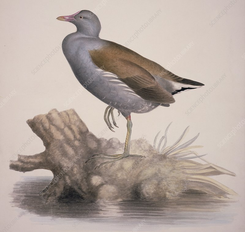 Common moorhen, 19th century