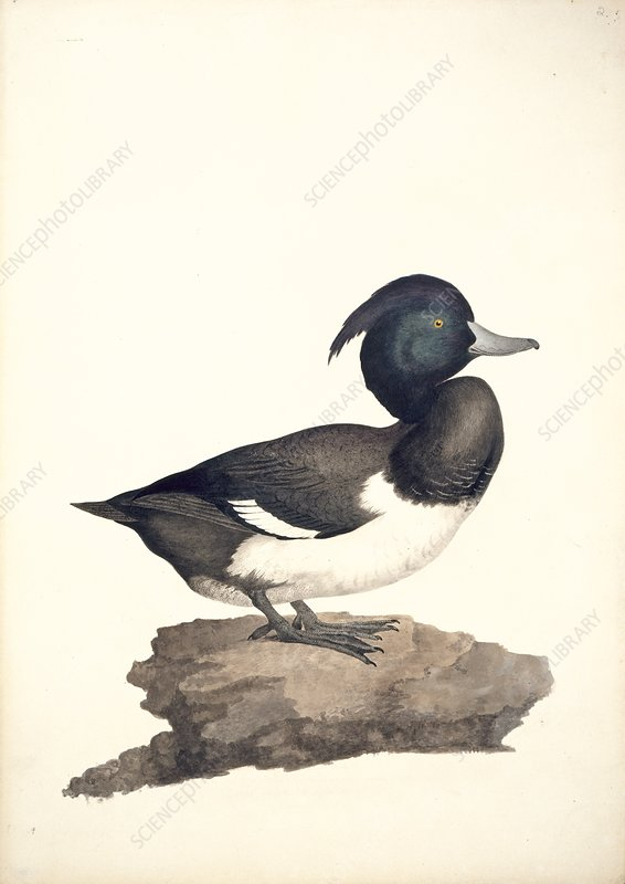 Tufted duck, 19th century