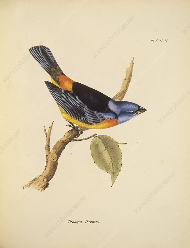 Blue-and-yellow tanager, 19th century