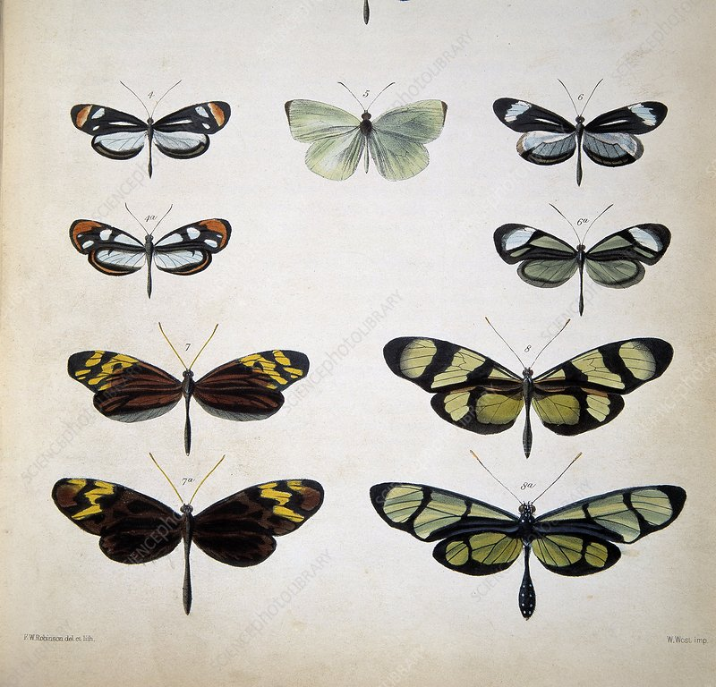 Examples of mimicry among butterflies