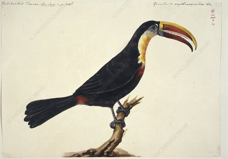 White-throated toucan, 18th century