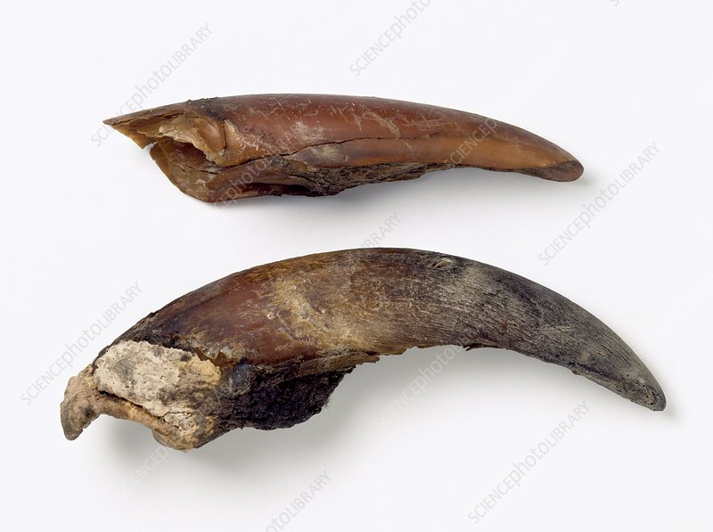 Giant Sloth Claws Giant ground sloth toe...