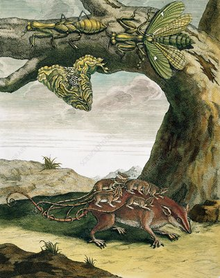 Mantid and opossum, 18th century