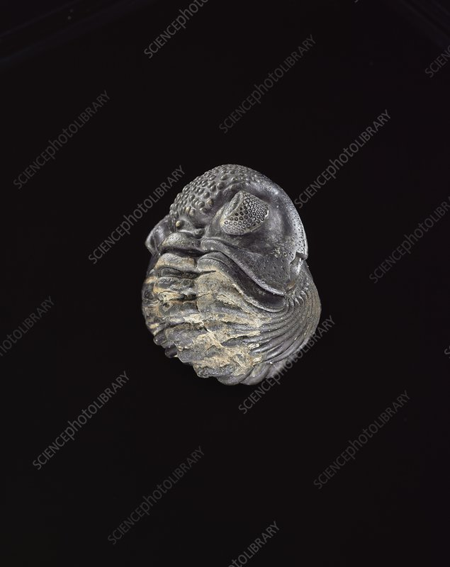 Phacops trilobite fossil