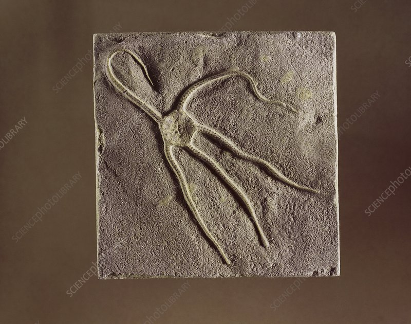 Brittle star fossil