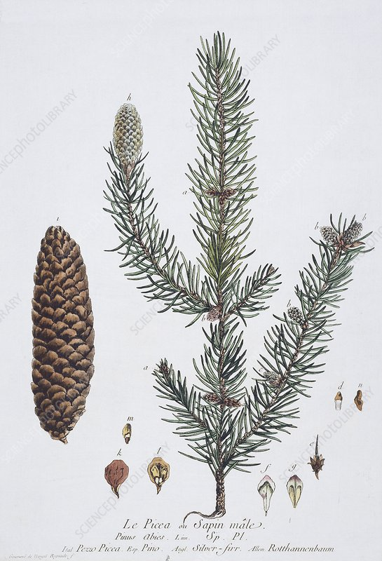 Norway spruce, historical artwork