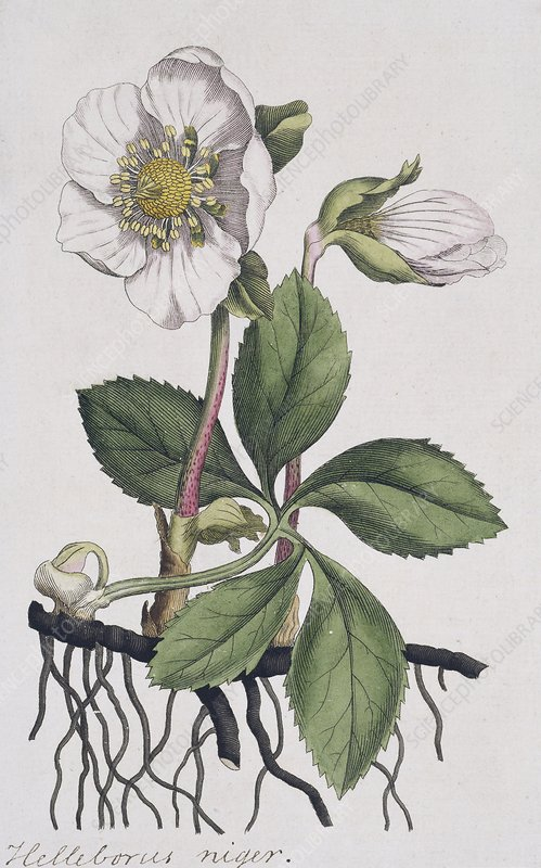 Christmas rose, historical artwork
