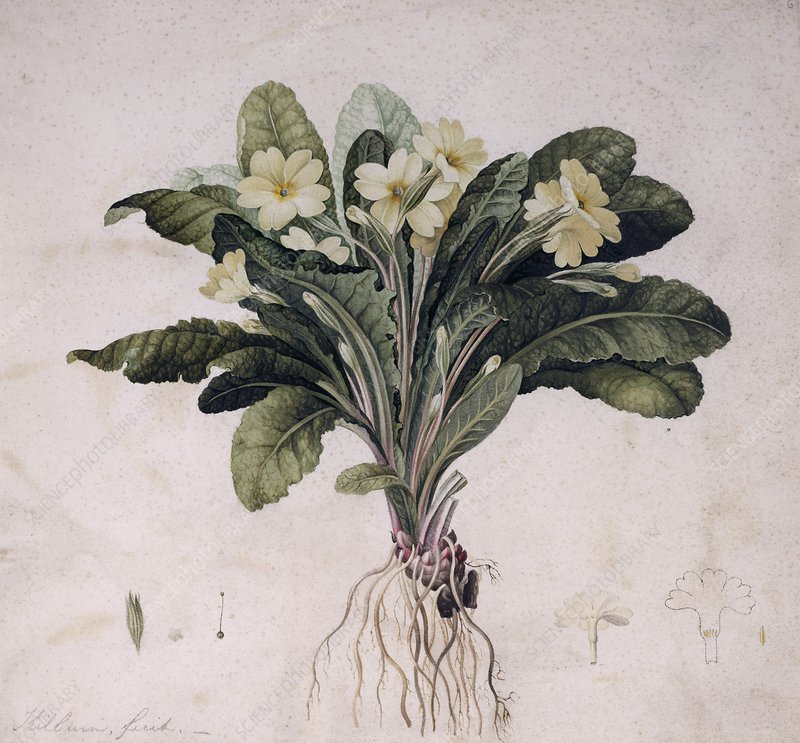 Common primrose, historical artwork