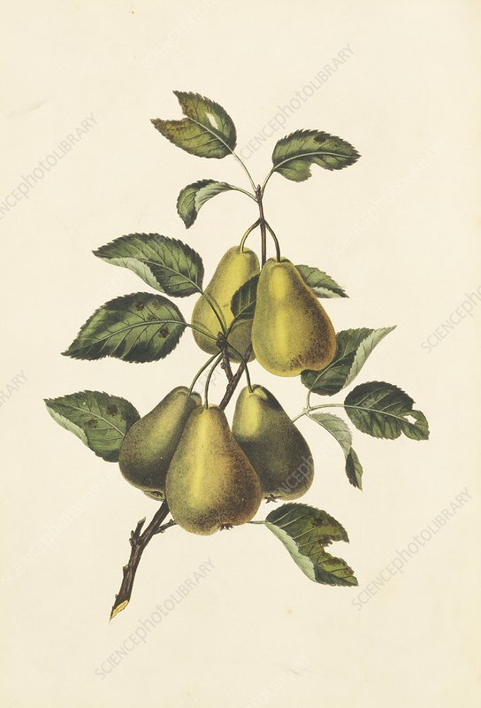 Pears, 19th century
