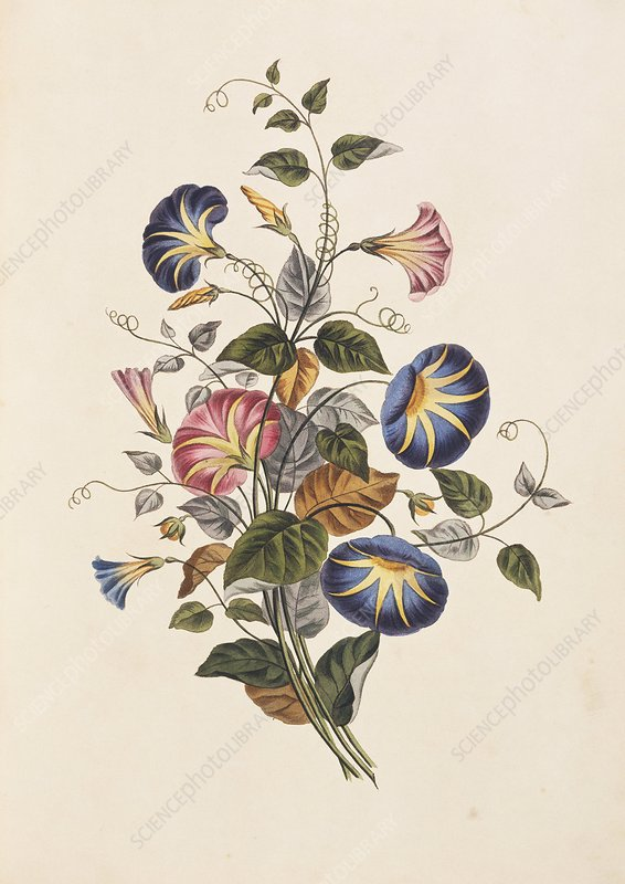 Morning glory flowers, 19th century