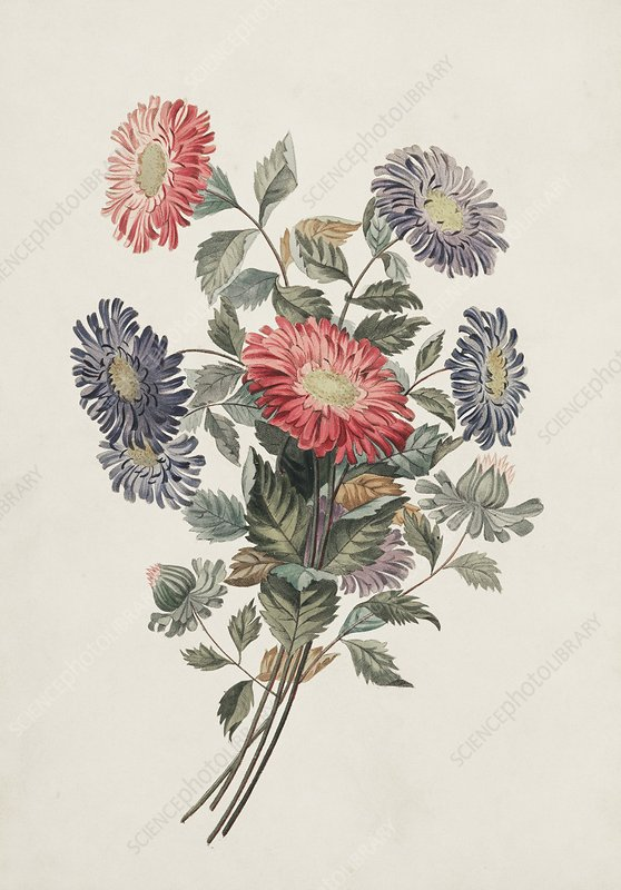 China aster flowers, 19th century
