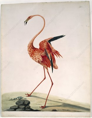 American flamingo, 18th century artwork