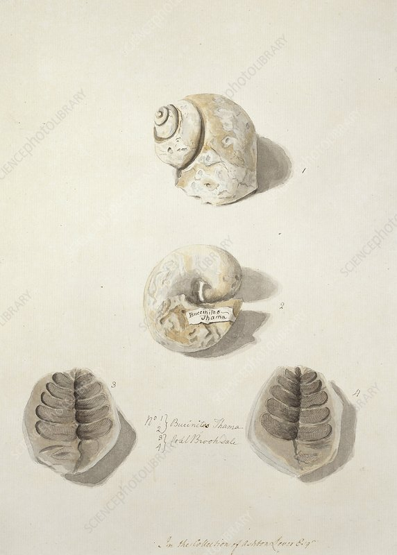 Snail and leaf fossils, artwork