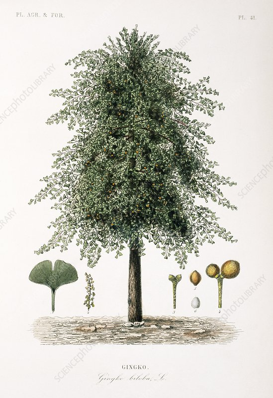 Maidenhair tree, 19th century