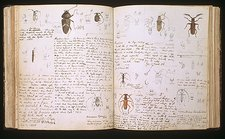 Beetles, 18th century illustration