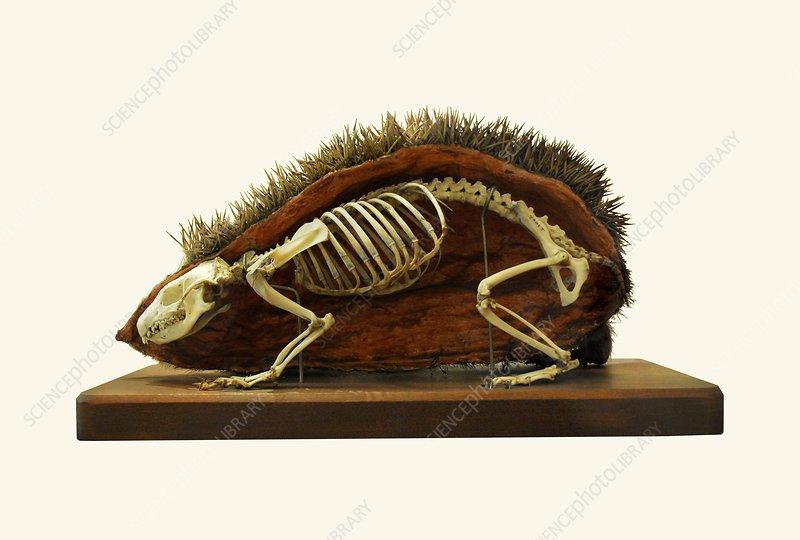 Hedgehog skeleton - Stock Image C013/6843 - enlarged - Science Photo ...
