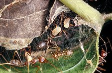Weaver ants building a nest