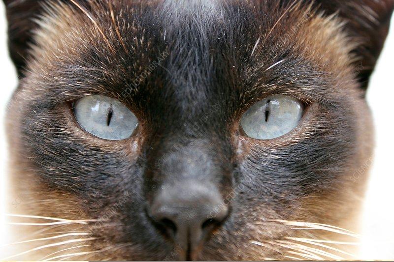 Siamese cat's eyes