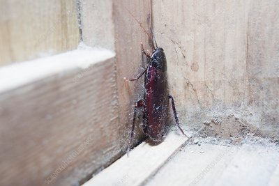 Cockroach insect