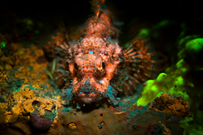 Scorpion fish, underwater fluorescence