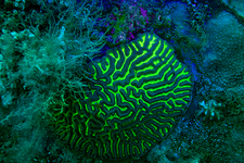 Brain coral underwater, UV light
