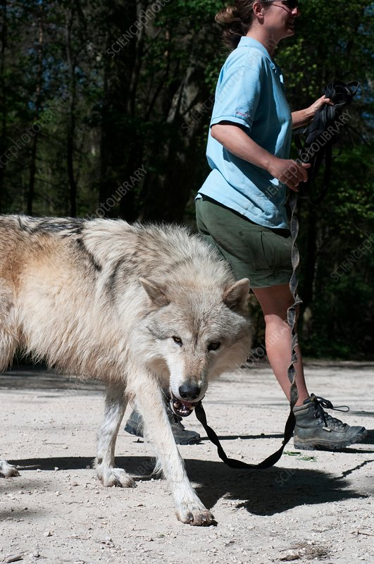 Wolf research