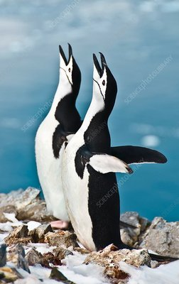 Chinstrap penguin courting display