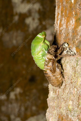 Northern greengrocer cicada hatching
