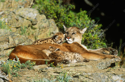 Cougar female with cubs