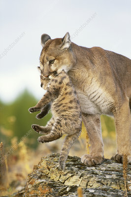 Mountain Lion mother and cub