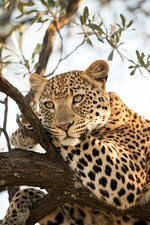 Female leopard resting in a tree