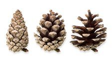 Pine cone opening