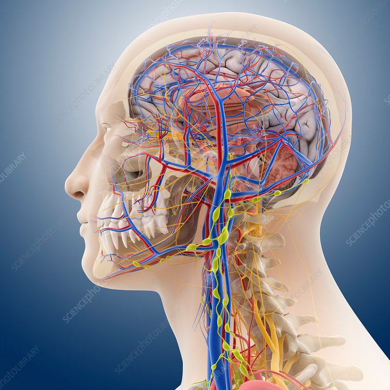 Grays anatomy head and neck