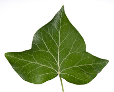 Common ivy (Hedera helix) leaf