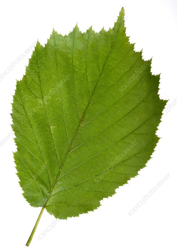 Hazel (Corylus avellana) tree leaf - Stock Image C014/0719 ...