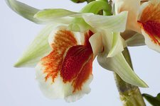 Orchid (Dendrobium williamsonii)