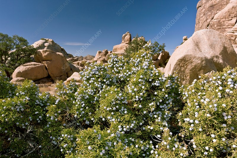 Juniperus californica tree