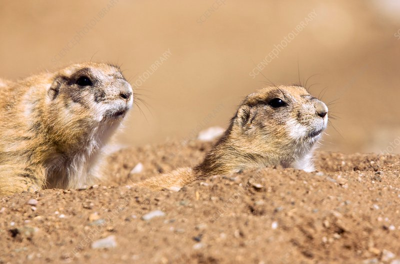 Black-tailed prairie dogs at their burrow